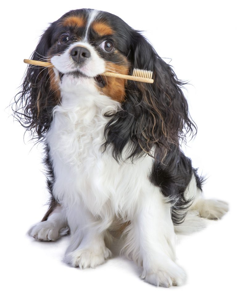 Cavalier king charles spaniel sitting with a toothbrush in mouth to promote pet dental health